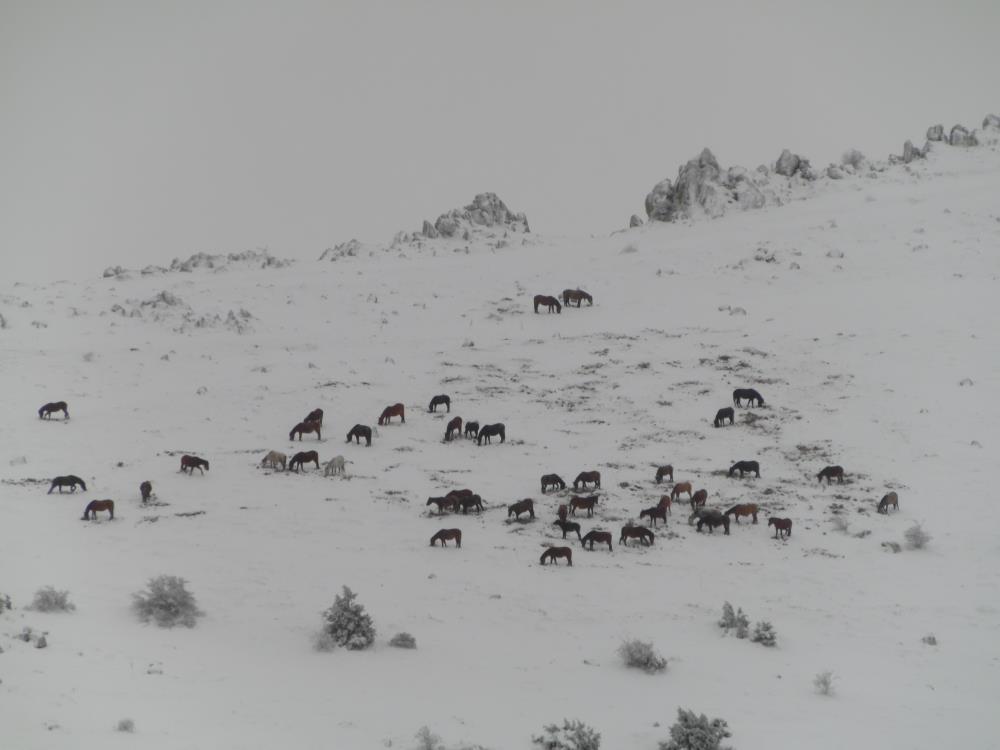 Afyon Sandıklı'da yılkı atlarının doğa ile mücadelesi görüntülendi