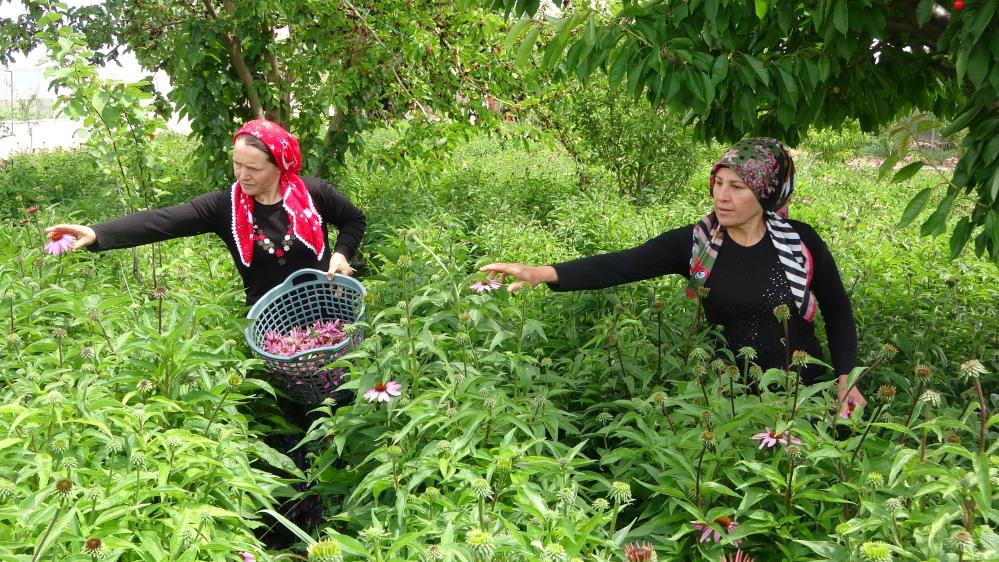 Uşak bahçeleri ekinezya ile çiçekleniyor.